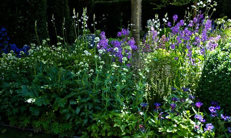 Garden blog: Centtaurea montana 'Album' and Camassia leichtlinii semi-plena