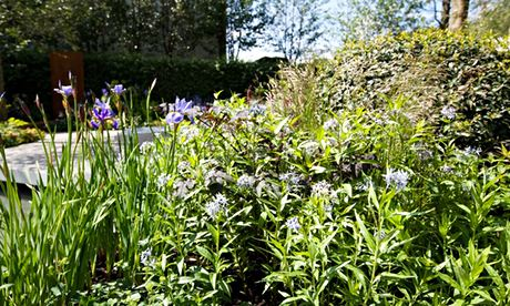 Garden blog: Amsonia