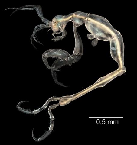 El camarón Skeleton, Liropus masculino.