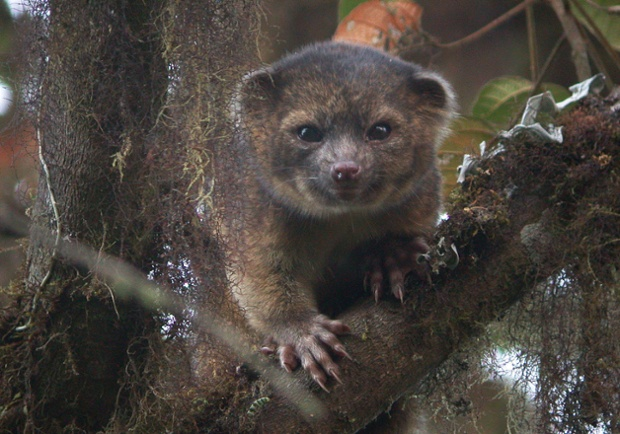 An olinguito at Tandayapa Bird Lodge, Ecuador, as the secretive tree-living carnivore from the cloud forests of the Andes heads this year's top 10 list of newly discovered species.