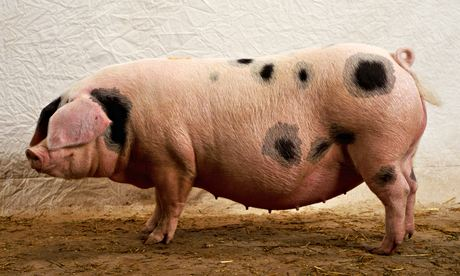 Gloucestershire Old Spot Sow