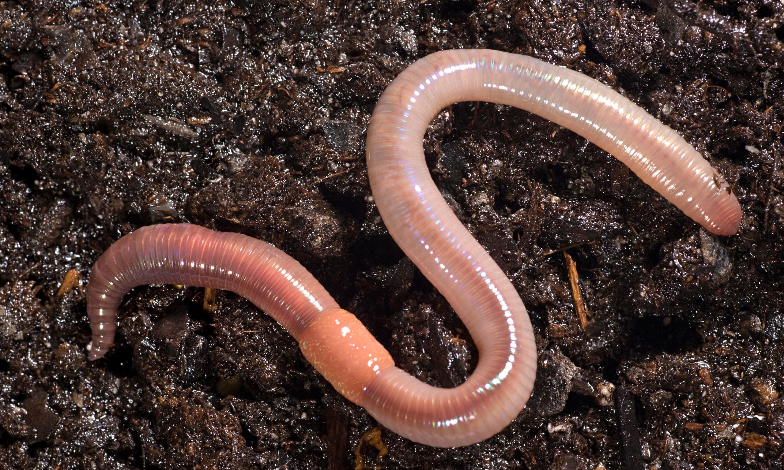 The earthworm way   blind 014