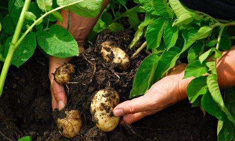 Potatoes (first earlies)