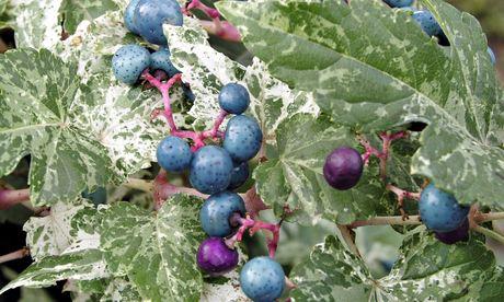 Plant of the week: Porcelain vine