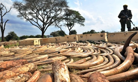 A Kenya Wildlife Services (KWS) ranger stands guard over an ivory haul seized overnight as it transited through Jomo Kenyatta Airport in Nairobi.
