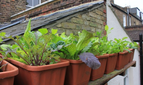 Salad window boxes pots