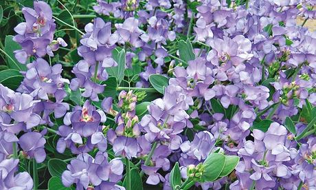 Lord Anson's pea