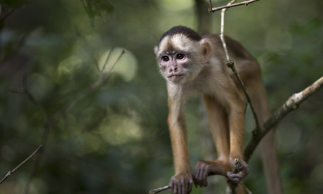 a small monkey stands in a tree in the Lago do Janauari, or Solimoes River, near Manaus, Brazil.