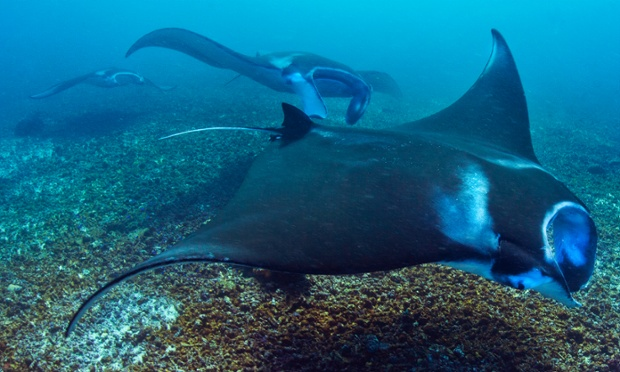 Manta rays swim through the water waters of the Komodo National Park, Indonesia