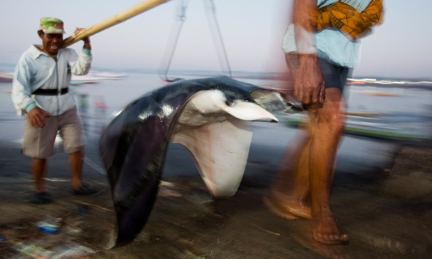 A mobula ray ( Mobula japanica ) is offloaded at the Tanjung Luar fish market, 27th September 2013, Lombok, Indonesia.