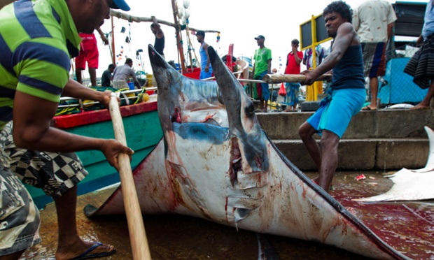 A mobula ray takes it's last blow before it gets processed, it's gills sent to China, Sri Lanka.
