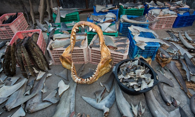 Shark fins, Great white shark jaws, manta ray gills are dried in the afternoon sun, Lombok, Indonesia.