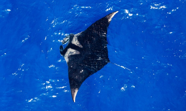 An ariel view of a oceanic manta ray in the Maldives.