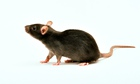 A brown rat on white background.