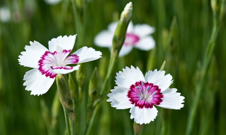 Sweet William Dianthus Arctic fire flowers