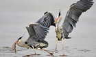 Grey herons by sea