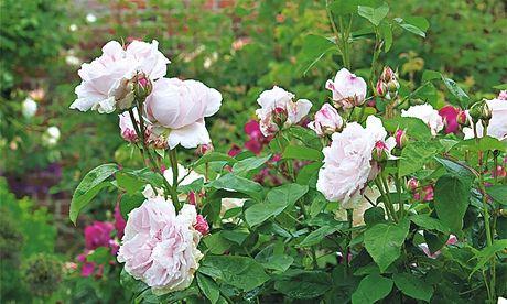 Gardens: Spencers rose