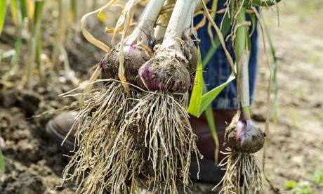 wet garlic