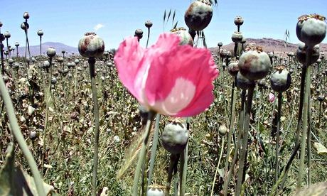 A field of opium poppies