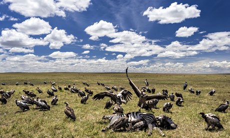 Vultures feeding on zebra
