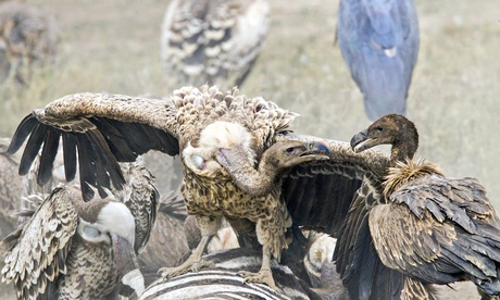 Vultures feasting at carcass of zebra