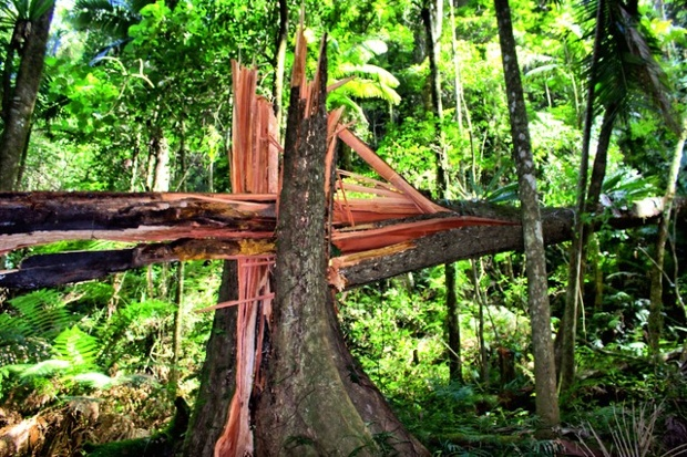 ancient tree torn down by a wind gust