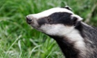 'It sounds appealing because only infected badgers are killed... but could alter badger behaviour in ways which risk exacerbating the bovine TB problem,' says Prof Rosie Woodroffe of a pilot badger cull in Northern Ireland