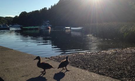 Ducklings, Balmaha, Loch Lomond