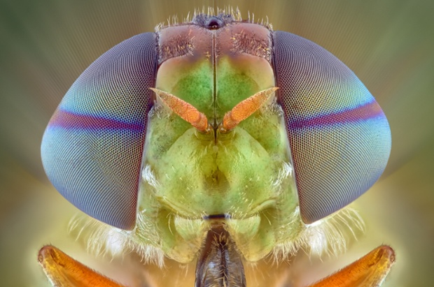 A soldier fly, close up