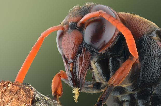 A brown wasp, close up