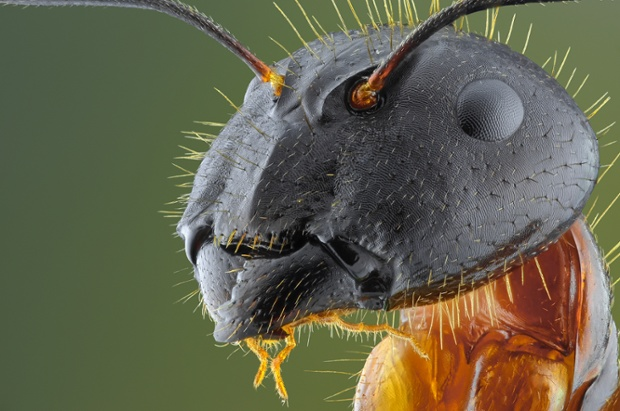 Yellow ant, close up