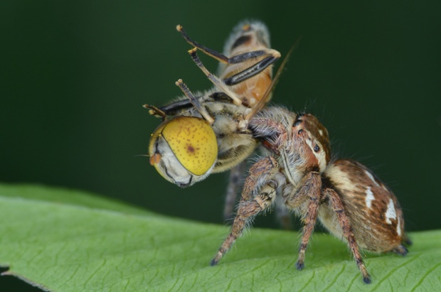 A spider fights with an insect