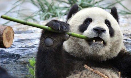 Pandas search high and low to get their fill of different bamboos