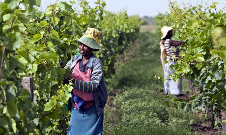 Ethiopia vineyard