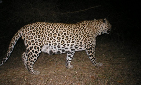 leopard caught by a camera trap rural Tamil Nadu, India