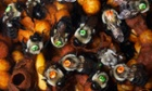 Laboratory colony of numbered Eastern Bumblebees in their nest (Bombus impatiens), USA. -