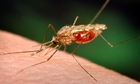 An anopheles funestus mosquito takes a blood meal from a human host.