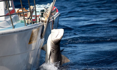WA shark cull condemned by global group of marine scientists