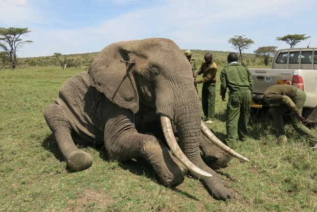 On the 30th of June the DSWT Nairobi HQ received a call from Mark Goss in the Masai Mara requesting the DSWT funded Sky Vet team to attend to two speared elephant bulls.