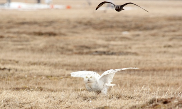 Photo released by explore.org, a bird flies over an owl at the site of the explore.org live camera set up in Barrow, Alaska. A high-definition camera trained on a burrow near the nation's northernmost city is allowing researchers and any bird viewer with an Internet connection an unfettered view into the nesting den of an Arctic snowy owl.