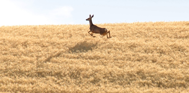 A whitetail deer bounds through a field of ripening wheat near Walla Walla, Wash., Tuesday afternoon, July 1, 2014. The wheat harvest has just begun in a few fields in eastern Washington.