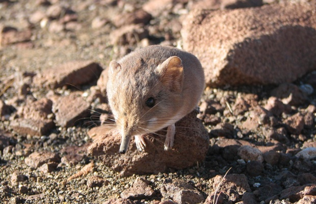 A Macroscelides micus elephant shrew found in the remote deserts of southwestern Africa is shown in this handout photo from the California Academy of Sciences released to Reuters on June 26, 2014. The new mammal discovered in the remote desert of western Africa resembles a long-nosed mouse in appearance but is more closely related genetically to elephants, a California scientist who helped identify the tiny creature said on June 26, 2014. The new species of elephant shrew inhabits an ancient volcanic formation in Namibia and sports red fur that helps it blend in with the color of its rocky surroundings, said John Dumbacher, one of a team of biologists behind the discovery. Genetic testing of the creature   which weighs up to an ounce (28 grams) and measures 7.5 inches (19 cm) in length, including its tail   revealed its DNA to be more akin to much larger mammals.