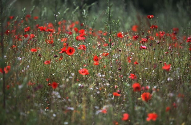 Wild poppies bloom at Blackstone Farm Fields, managed by Worcestershire Wildlife Trust, on July 1, 2014 in Bewdley, United Kingdom. As the centenary of World War One approaches on 4 August, the popular Flanders Poppy will be at the centre of attention as the iconic symbol of remembrance blooms across Europe.