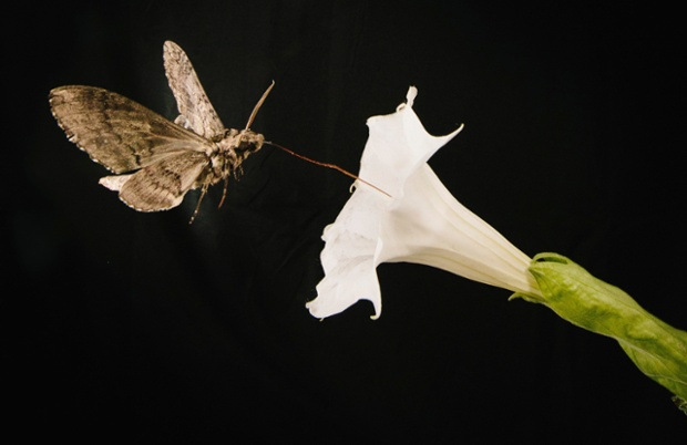 A pollinating moth Manduca sexta, this one with a wing span of about 4 inches, feeds from a Sacred Dutura, or Datura wrightii, flower while flying through a wind tunnel at the University of Washington in Seattle, Washington in this May 2014 picture provided by Kiley Riffell. The  moths, whose olfactory abilities are as good as a bloodhound's and vastly better than a human's, can fly up to 80 miles (130 km) a night searching for their favorite flowers like the Sacred Datura.