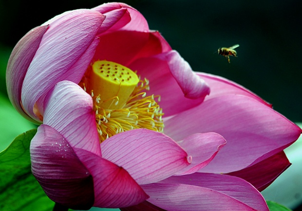 A bee flies over a blooming lotus flower in Tangshu Village on June 28, 2014 in Shucheng, China.