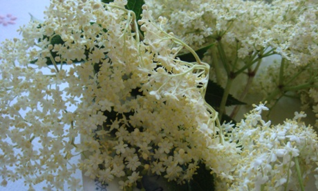 The elderflower season is nearly over - get foraging while you can