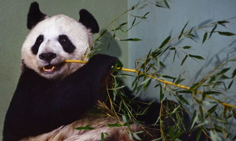An attention-seeking panda, Edinburgh