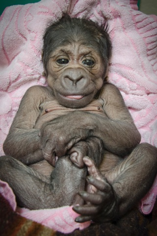A female western lowland baby gorilla