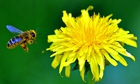 A bee flies next to a dandelion flower on a spring day near Warsaw.