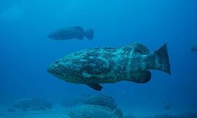 Grouper florida shark